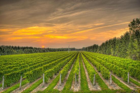Vignoble CARONE Wines